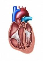 Serce - drożny otwór owalny